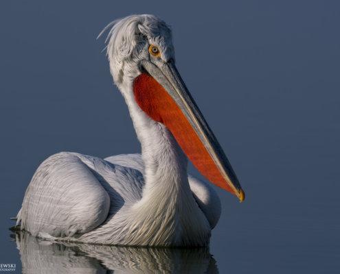 Dalmatian pelican, Pelecanus crispus, Pelikan kędzierzawy Kerkini lake water reflection red nose beak close up