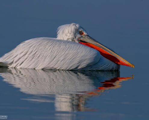 Dalmatian pelican, Pelecanus crispus, Pelikan kędzierzawy Kerkini lake water reflection red beak close up white bird