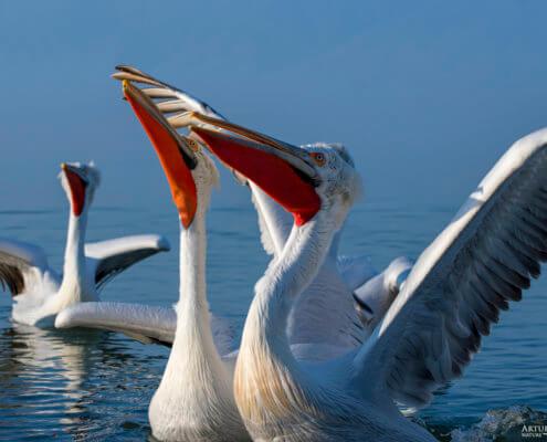 Dalmatian pelican, Pelecanus crispus, Pelikan kędzierzawy flying bird in Kerkini lake water red beak nose
