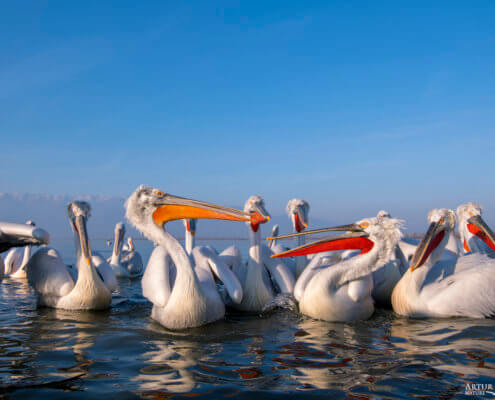 Dalmatian pelican, Pelecanus crispus, Pelikan kędzierzawy flying bird in Kerkini lake water bighting birds red nose orange beak