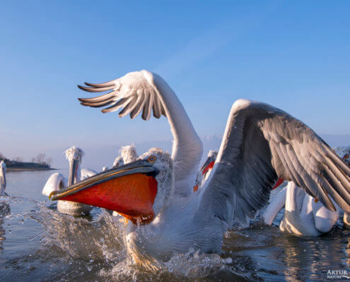 Dalmatian pelican, Pelecanus crispus, Pelikan kędzierzawy flying bird in Kerkini lake water wingspan
