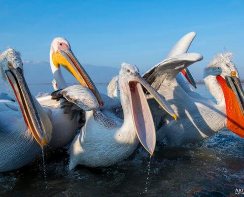 Dalmatian pelican, Pelecanus crispus, Pelikan kędzierzawy flying bird in Kerkini lake water open beak red nose beak