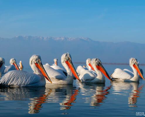 Dalmatian pelican, Pelecanus crispus, Pelikan kędzierzawy flying bird in Kerkini lake water red beak mountain in background
