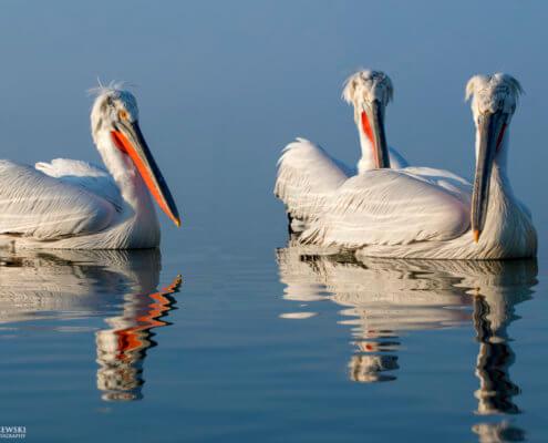 Dalmatian pelican, Pelecanus crispus, Pelikan kędzierzawy flying bird in Kerkini lake water red beak water reflection