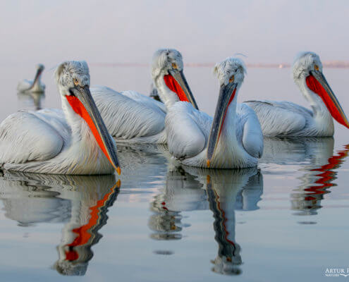 Dalmatian pelican, Pelecanus crispus, Pelikan kędzierzawy flying bird in Kerkini lake water red beak