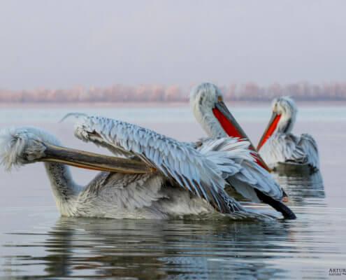Dalmatian pelican, Pelecanus crispus, Pelikan kędzierzawy flying bird in Kerkini lake water morning toilet