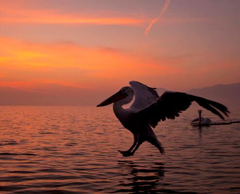 Dalmatian pelican, Pelecanus crispus, Pelikan kędzierzawy flying bird in Kerkini lake sunset sunrise water orange light wingspan