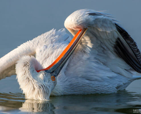 Dalmatian pelican, Pelecanus crispus, Pelikan kędzierzawy close up bird eye feathers closup orange red beak bill nose sun light nature wild life water river wingspan lake