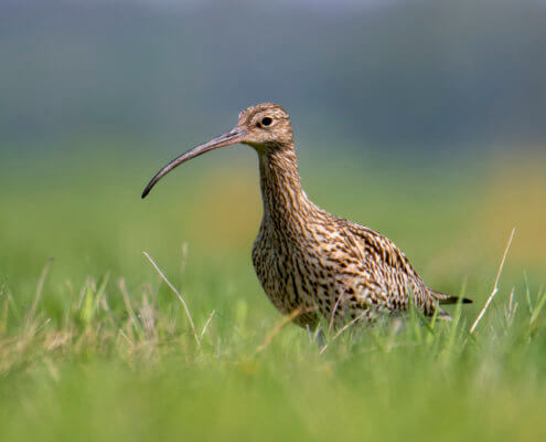 Eurasian curlew, Numenius arquata, bird, long beak, grass, wild life nature photography, Artur Rydzewski