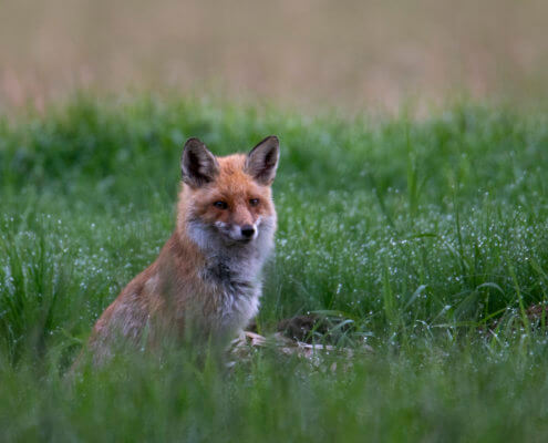 sitting red fox animal in grass, Red fox, Vulpes vulpes, Lis rudy, pospolity, drops of water green background