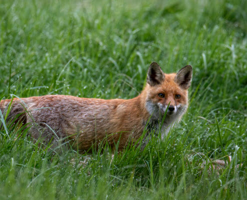 red fox animal in grass, Red fox, Vulpes vulpes, Lis rudy, pospolity, drops of water green background