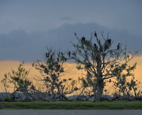 Great cormorant, Phalacrocorax carbo, Kormoran zwyczajny, bird, water bird, black bird, wildlife nature photography, Artur Rydzewski
