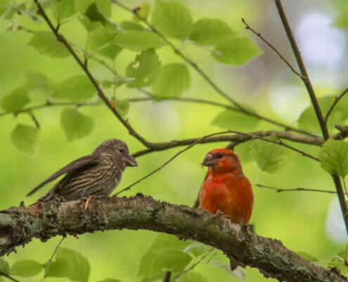 The red crossbill Loxia curvirostra small passerine bird in the finch family Fringillidae, known as the common crossbill in Eurasia