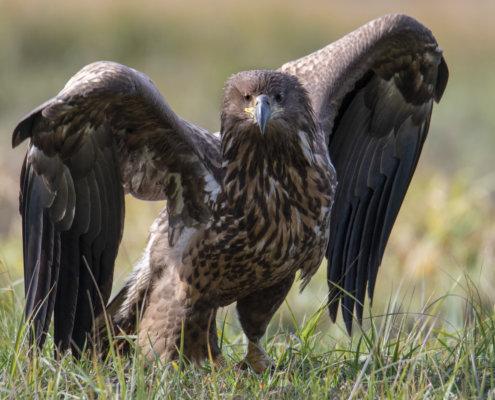 wingspan, wings, big bird, brown bird, Bird of prey White-Tailed Eagle, big bird, bird, wildlife nature photography, Artur Rydzewski
