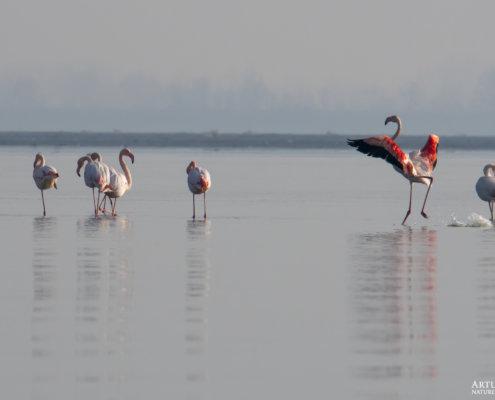 Greater flamingo, Phoenicopterus roseus, Flaming różowy, long legs white ping water bird in lake Kerkini wingspan