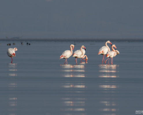 Greater flamingo, Phoenicopterus roseus, Flaming różowy, long legs white ping water bird in sun light in Kerkinie lake