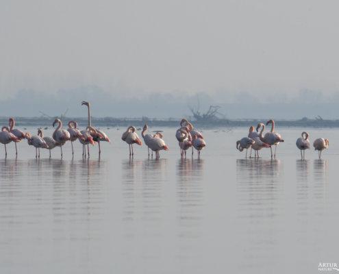 Greater flamingo, Phoenicopterus roseus, Flaming różowy, long legs white ping water bird in Kerkinie lake