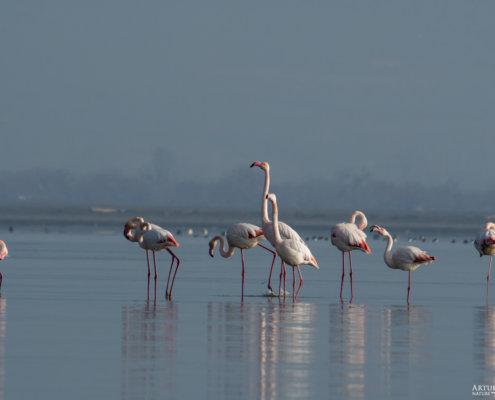 Greater flamingo, Phoenicopterus roseus, Flaming różowy, long legs white ping water bird