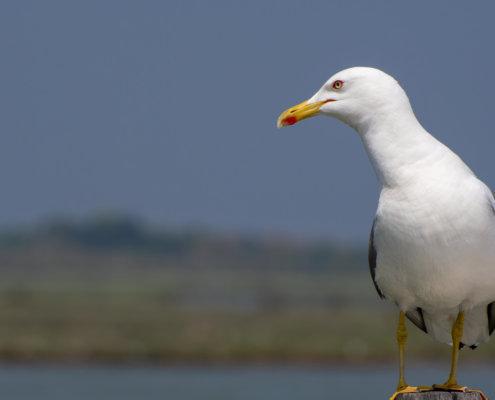 Sea Gull, bird, white bird, yellow beak