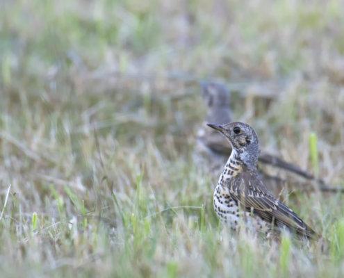 Song thrush, Turdus philomelos, Śpiewak wildlife nature photography Artur Rydzewski