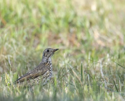 song thrush Turdus philomelos bird small bird on grass wildlife nature photography Artur Rydzewski śpiewak