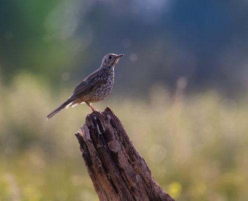 Mistle thrush, Turdus viscivorus, Paszkot wildlife nature photography Artur Rydzewski