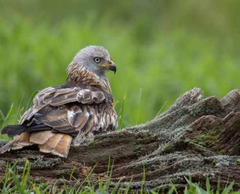 Red kite, Milvus milvus, Kania Ruda, bird, bird of prey, wild life, photography, nature photography, Artur Rydzewski, grass, wild, brown bird with white head, ptak, brązowy ptak, drapieżnik, ptak drapieżny, Rezerwat Świdwie Puszcza Wkrzańska