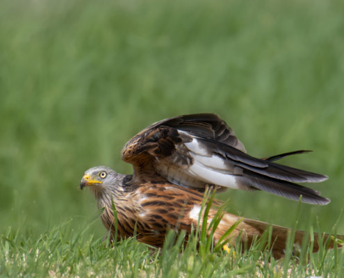 Red kite, Milvus milvus, Kania Ruda, bird, bird of prey, wild life, photography, nature photography, Artur Rydzewski, grass, wild, brown bird with white head, wings, ptak, brązowy ptak, drapieżnik, ptak drapieżny, skrzydła