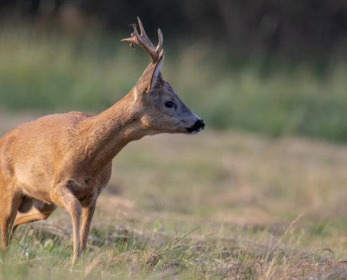 Roe-deer animal close up, nature photography, field, koziołek, sarna, rogi, łąka