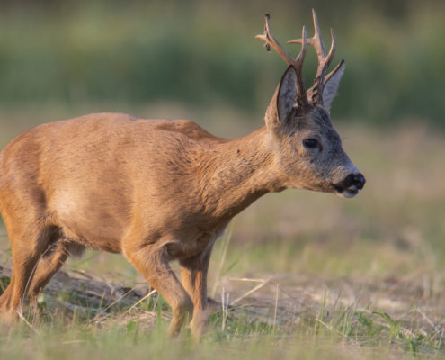 Roe-deer animal close up, nature photography