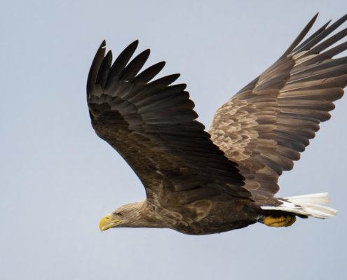 White-Tailed Eagle, Haliaeetus albicilla, Bielik, Birkut, bird of prey wingspan
