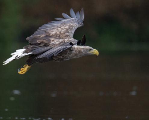 White-Tailed Eagle, Haliaeetus albicilla, Bielik, Birkut, bird of prey, big bird, flight