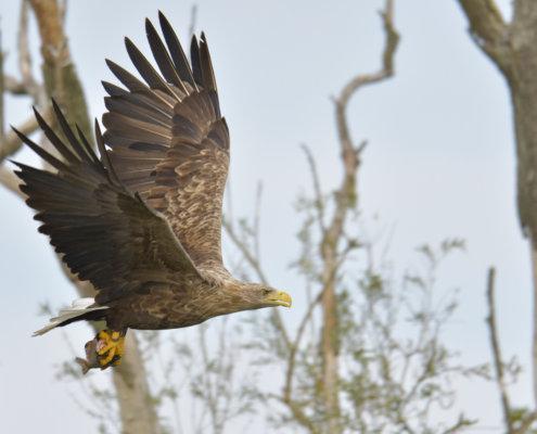 White-Tailed Eagle, Haliaeetus albicilla, Bielik, Birkut, bird of prey with fish, big brown bird