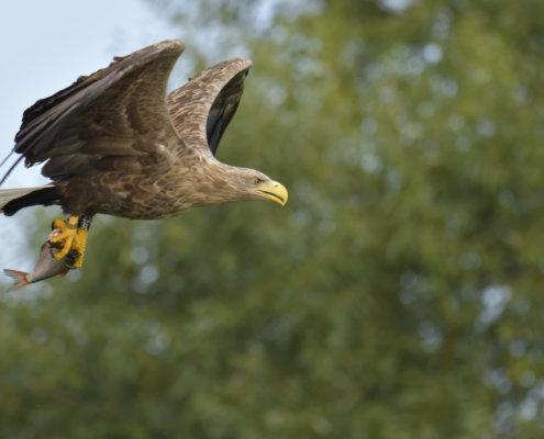 White-Tailed Eagle, Haliaeetus albicilla, Bielik, Birkut, bird of prey in flight, hunter, fishing fish