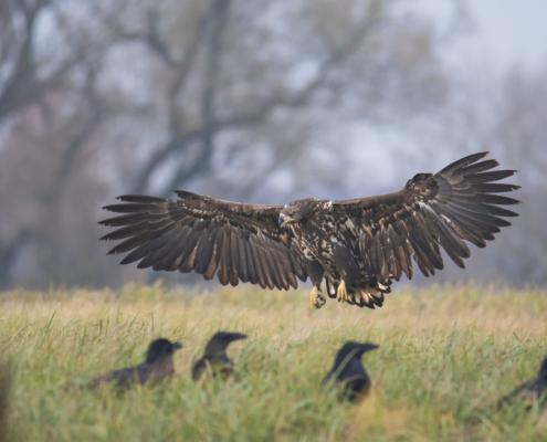 flying bird, wings, White-tailed eagle, Haliaeetus albicilla, bird of prey, bird, close up wild life nature photography, Artur Rydzewski