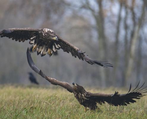 flying birds, wings, White-tailed eagle, Haliaeetus albicilla, bird of prey, bird, close up wild life nature photography, Artur Rydzewski