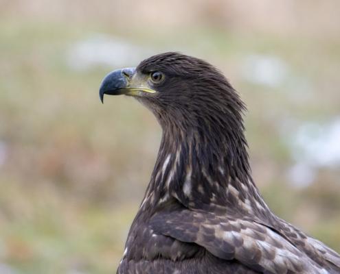 Bird of prey White-Tailed Eagle close up nature photography, Haliaeetus albicilla, Artur Rydzewski