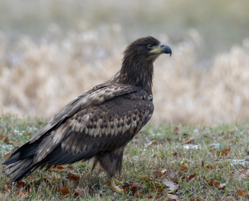Bird of prey White-Tailed Eagle close up nature photography