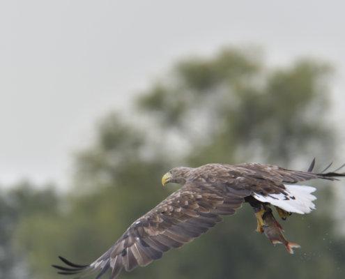 White-Tailed Eagle, Haliaeetus albicilla, Bielik, Birkut, bird