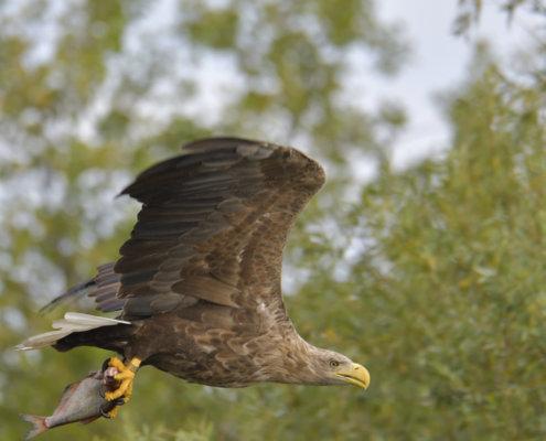 White-Tailed Eagle, Haliaeetus albicilla, Bielik, Birkut, bird of prey