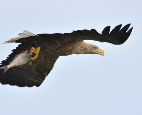 White-Tailed Eagle, Haliaeetus albicilla, Bielik, Birkut, bird of prey, hunt
