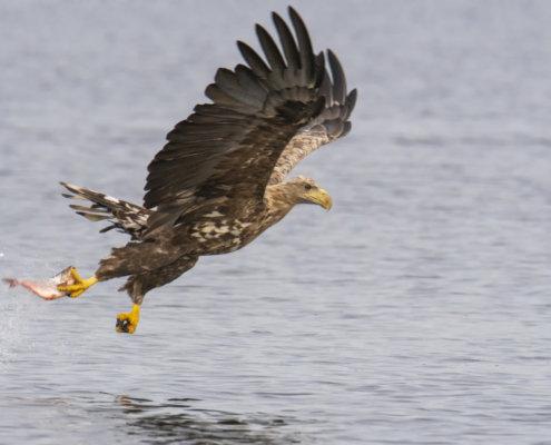 Haliaeetus albicilla, White-Tailed Eagle, Bielik, Birkut, bird of prey, bird with fish, eagle with fish, hunt, hunter, wings, fly, bird, beak, wings, blue background, brown bird, attack, ptak, orzeł, bielik z rybą, ptak z rybą, orzeł z rybą, niebieskie niebo, niebieskie tło, brązowy ptak, ptak drapieżny, skrzydła, atak, polowanie, szybkość, prędkość, wielki ptak, trzciny, przyroda, zalew szczeciński, ryba w szponach, ryba, z bliska, szeroko skrzydła, plusk wody