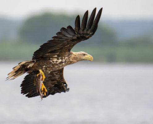 Haliaeetus albicilla, White-Tailed Eagle, Bielik, Birkut, bird of prey, bird with fish, eagle with fish, hunt, hunter, wings, fly, bird, beak, wings, blue background, brown bird, attack, ptak, orzeł, bielik z rybą, ptak z rybą, orzeł z rybą, niebieskie niebo, niebieskie tło, brązowy ptak, ptak drapieżny, skrzydła, atak, polowanie, szybkość, prędkość, wielki ptak, trzciny, przyroda, zalew szczeciński, ryba w szponach, ryba, z bliska, szeroko skrzydła