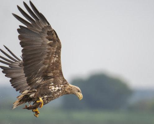 Haliaeetus albicilla, White-Tailed Eagle, Bielik, Birkut, bird of prey, bird with fish, eagle with fish, hunt, hunter, wings, fly, bird, beak, wings, blue background, brown bird, attack, ptak, orzeł, bielik z rybą, ptak z rybą, orzeł z rybą, niebieskie niebo, niebieskie tło, brązowy ptak, ptak drapieżny, skrzydła, atak, polowanie, szybkość, prędkość, wielki ptak, trzciny, przyroda, zalew szczeciński, ryba w szponach, ryba, z bliska, wielkie skrzydła