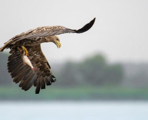 Haliaeetus albicilla, White-Tailed Eagle, Bielik, Birkut, bird of prey, bird with fish, eagle with fish, hunt, hunter, wings, fly, bird, beak, wings, blue background, brown bird, attack, ptak, orzeł, bielik z rybą, ptak z rybą, orzeł z rybą, niebieskie niebo, niebieskie tło, brązowy ptak, ptak drapieżny, skrzydła, atak, polowanie, szybkość, prędkość, wielki ptak, trzciny, przyroda, zalew szczeciński, ryba w szponach, ryba, z bliska