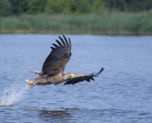 Haliaeetus albicilla, White-Tailed Eagle, Bielik, Birkut, bird of prey, bird with fish, eagle with fish, hunt, hunter, wings, fly, bird, beak, wings, blue background, brown bird, attack, ptak, orzeł, bielik z rybą, ptak z rybą, orzeł z rybą, niebieskie niebo, niebieskie tło, brązowy ptak, ptak drapieżny, skrzydła, atak, polowanie, szybkość, prędkość, wielki ptak, trzciny, przyroda, zalew szczeciński, ryba w szponach, ryba, plusk wody