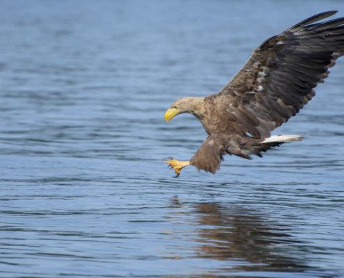 Haliaeetus albicilla, White-Tailed Eagle, Bielik, Birkut, bird of prey, bird with fish, hunt, hunter, wings, fly, bird, beak, wings, blue background, brown bird, attack, ptak, orzeł, niebieskie niebo, niebieskie tło, brązowy ptak, ptak drapieżny, skrzydła, atak, polowanie, szybkość, prędkość, wielki ptak, trzciny, przyroda, natura, zalew szczeciński