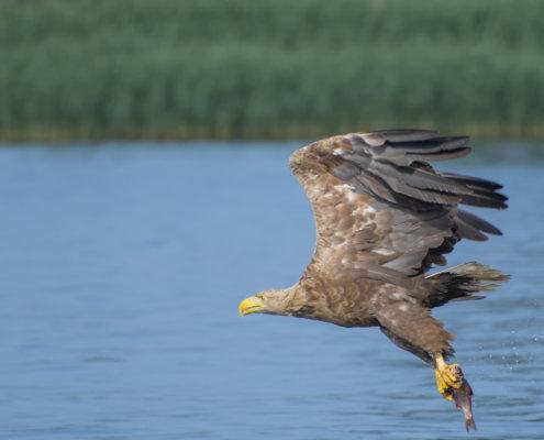 Haliaeetus albicilla, White-Tailed Eagle, Bielik, Birkut, bird of prey, bird with fish, eagle with fish, hunt, hunter, wings, fly, bird, beak, wings, blue background, brown bird, attack, ptak, orzeł, bielik z rybą, ptak z rybą, orzeł z rybą, niebieskie niebo, niebieskie tło, brązowy ptak, ptak drapieżny, skrzydła, atak, polowanie, szybkość, prędkość, wielki ptak, trzciny, przyroda, natura, zalew szczeciński