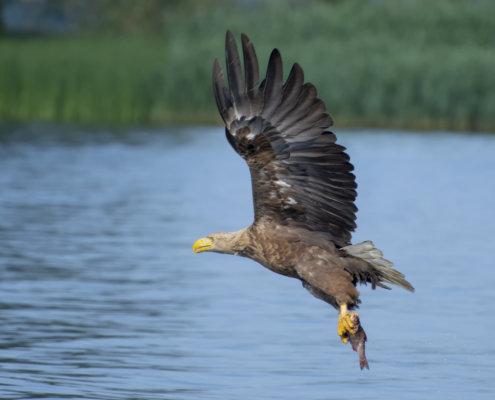 Haliaeetus albicilla, White-Tailed Eagle, Bielik, Birkut, bird of prey, bird with fish, eagle with fish, hunt, hunter, wings, fly, bird, beak, wings, blue background, brown bird, attack, ptak, orzeł, bielik z rybą, ptak z rybą, orzeł z rybą, niebieskie niebo, niebieskie tło, brązowy ptak, ptak drapieżny, skrzydła, atak, polowanie, szybkość, prędkość, wielki ptak, trzciny, przyroda, zalew szczeciński