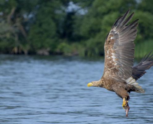 Haliaeetus albicilla, White-Tailed Eagle, Bielik, Birkut, bird of prey, bird with fish, eagle with fish, hunt, hunter, wings, fly, bird, beak, wings, blue background, brown bird, attack, ptak, orzeł, bielik z rybą, ptak z rybą, orzeł z rybą, niebieskie niebo, niebieskie tło, brązowy ptak, ptak drapieżny, skrzydła, atak, polowanie, szybkość, prędkość, wielki ptak
